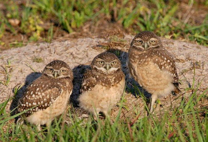 burrowing-owl-facts-696x475